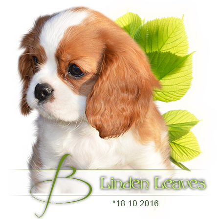 Cavalier King Charles spaniel puppies - litter B