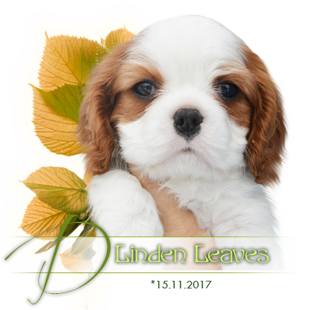 Cavalier King Charles spaniel puppies - litter D